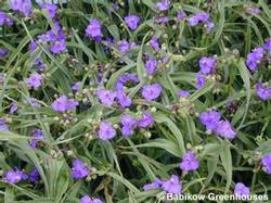 Tradescantia 'Purple Profusion'