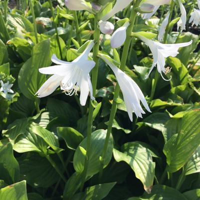 Hosta x 'Royal Standard'