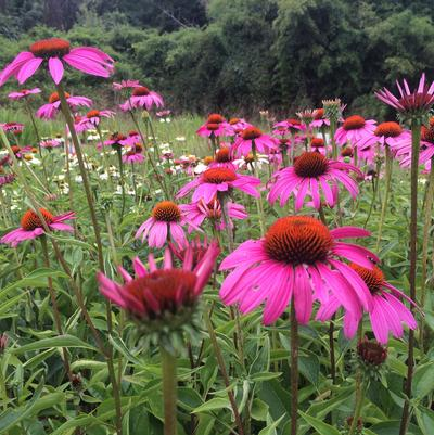Echinacea 'Rubinstern (Ruby Star)'