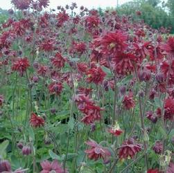Aquilegia 'Ruby Port'
