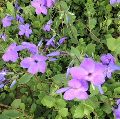 Phlox sto. 'Sherwood Purple'
