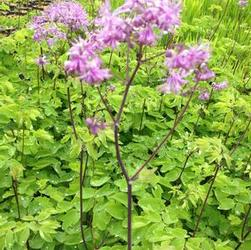 Thalictrum roc. 'Black Stockings'