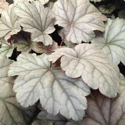 Heuchera x 'Stainless Steele'