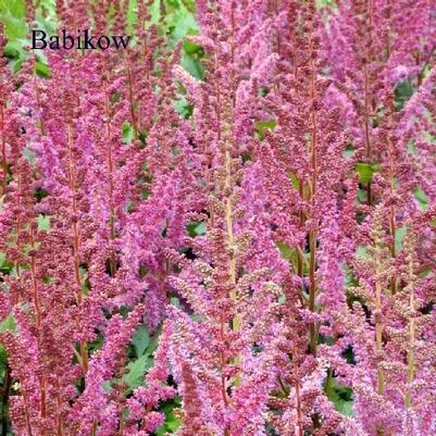 Astilbe chi. 'Visions'