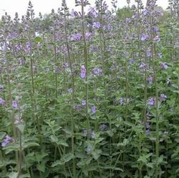Nepeta faa. Walker's Low (Catmint)