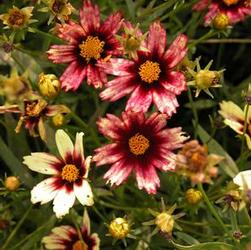 Coreopsis x 'Redshift'