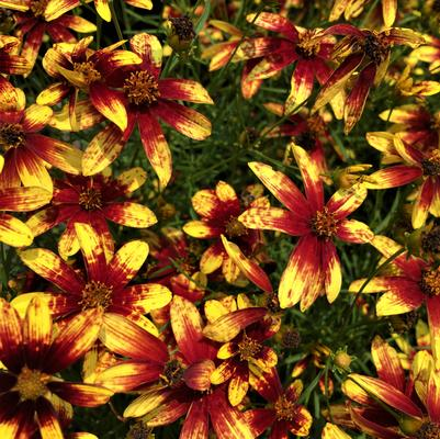 Coreopsis x 'Route 66'