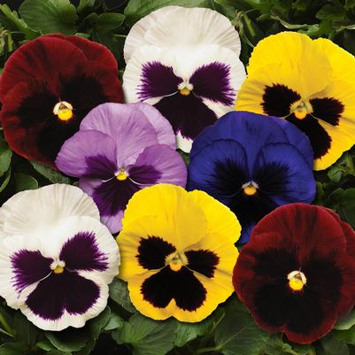 Pansy Matrix 'Blotch Mix'