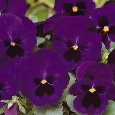 Pansy Matrix 'Deep Blue Blotch'