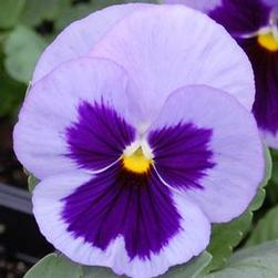 Pansy Matrix 'Ocean'