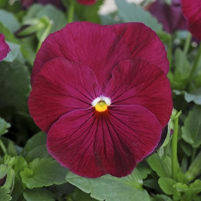 Pansy Matrix 'Rose'