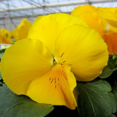 Pansy Matrix 'Yellow'