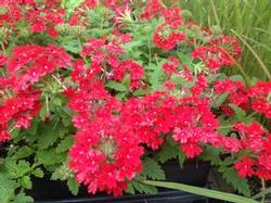 Verbena can. 'Homestead Red'