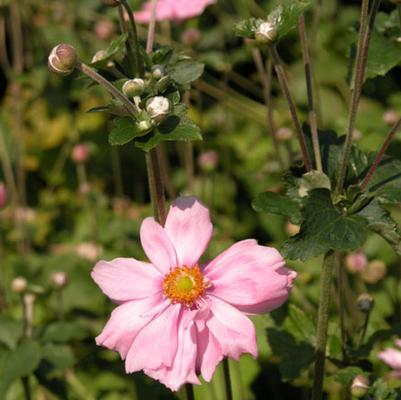 Anemone 'Queen Charlotte'