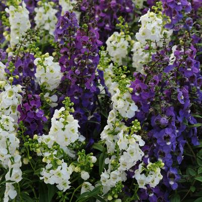 Angelonia Serena 'Waterfall Mix'