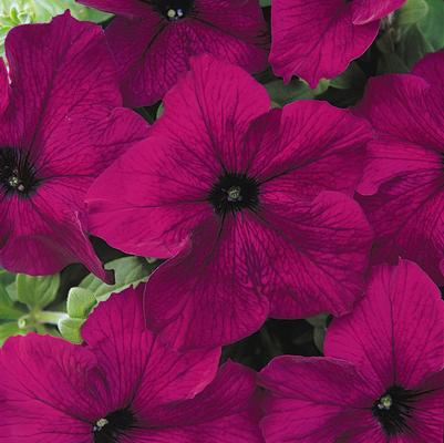 Petunia Dreams 'Burgundy'