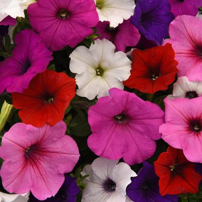 Petunia Easy Wave 'Formula Mix'