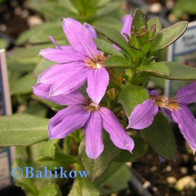 Scaevola Top Pot 'Blue'