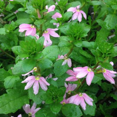 Scaevola Top Pot 'Pink'