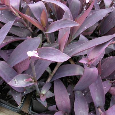 Setcreasea pallida 'Purple Heart'