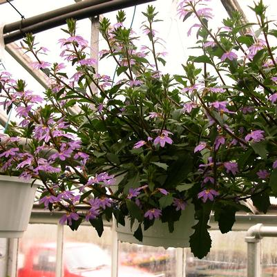 Scaevola Hanging Basket- Assorted Colors