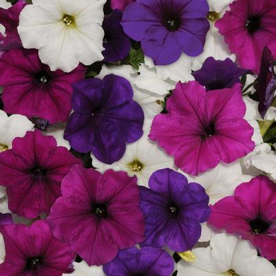 Petunia Easy Wave 'Great Lakes Mix'
