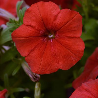 Petunia Easy Wave 'Red'