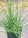 Juncus eff. 'Big Twister'