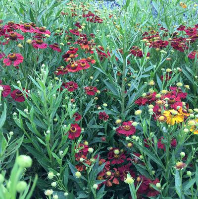 Helenium 'Helena Red Shades'