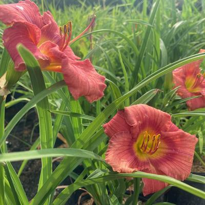 Hemerocallis 'Rosy Returns'