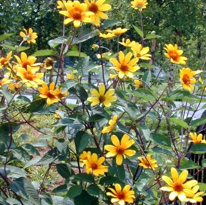Heliopsis hel. 'Summer Nights'