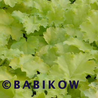 Heuchera x 'Lime Rickey'