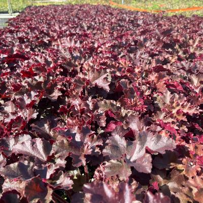 Heuchera x 'Melting Fire'