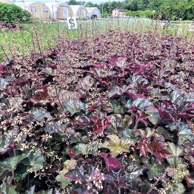 Heuchera mic. 'Palace Purple'