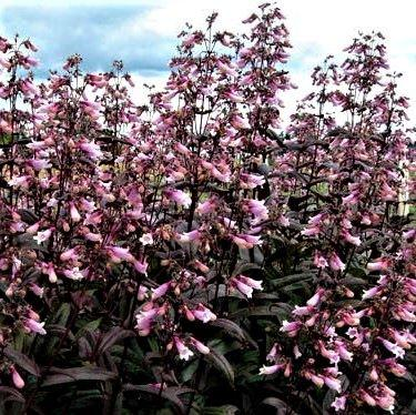 Penstemon x 'Dark Towers'