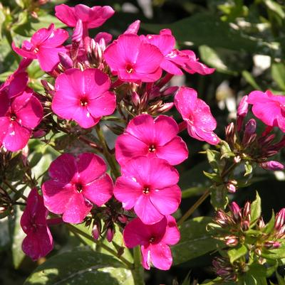 Phlox pan. 'Peacock Cherry Red'