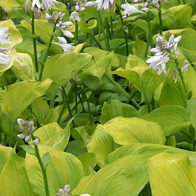 Hosta x 'Sum and Substance'