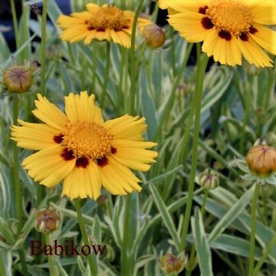 Coreopsis X 'Tequilla Sunrise'