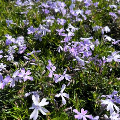 Phlox sub. 'Emerald Blue'