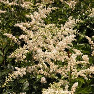 Astilbe are. 'Bridal Veil'
