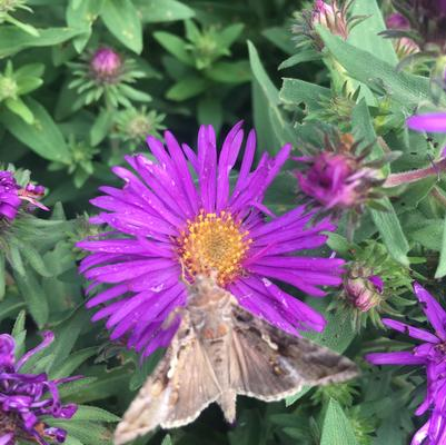 Aster nov.ang. 'Purple Dome'