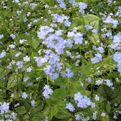 Brunnera 'Sea Heart'