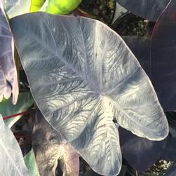 Colocasia antiquorum 'Diamond Head'
