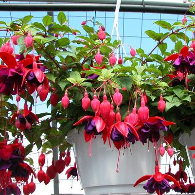 Fuchsia Hanging basket 'Assorted'