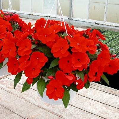 New Guinea Impatiens 'Hanging Basket - assorted'