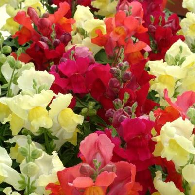 Snapdragon Snapshot 'Autumn Mix'