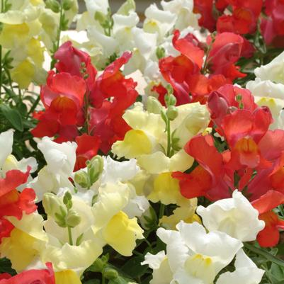 Snapdragon Snapshot 'Citrus Mix'