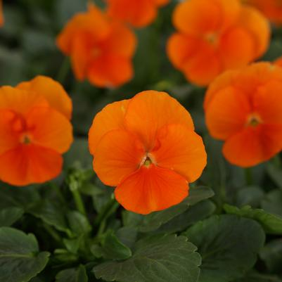 Viola Sorbet XP 'Deep Orange'