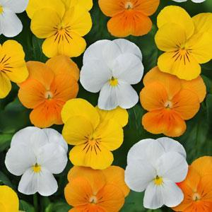 Viola Sorbet XP 'Citrus Mix'