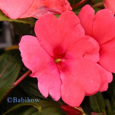 New Guinea Impatiens Sonic 'Pink'